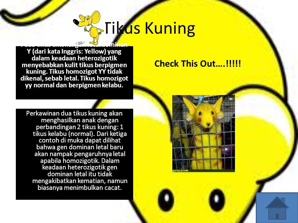 Tikus Kuning Check This Out….!!!!!