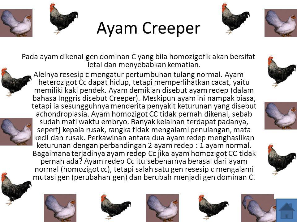 Ayam Creeper Pada ayam dikenal gen dominan С yang bila homozigofik akan bersifat letal dan menyebabkan kematian.
