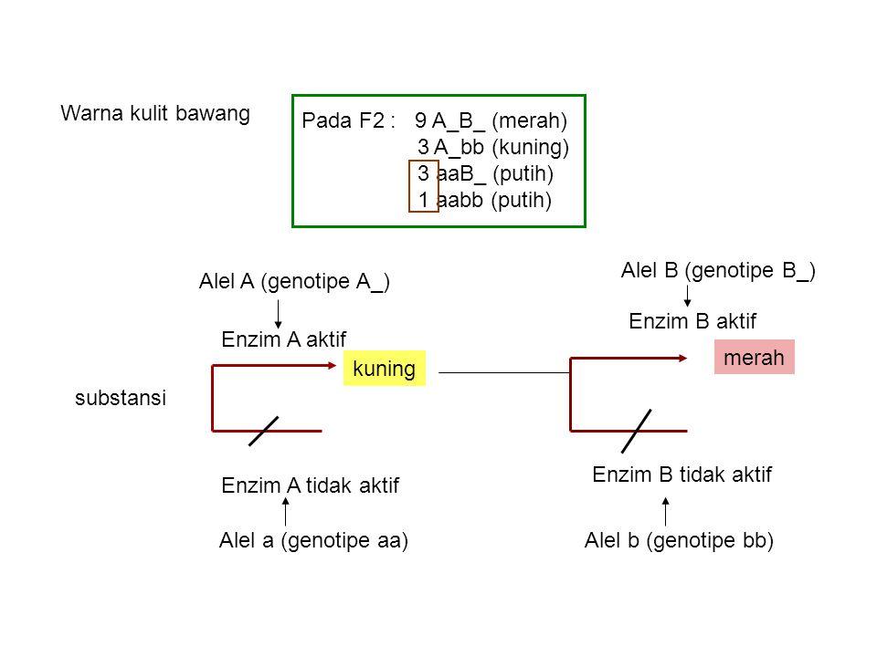 Warna kulit bawang Pada F2 : 9 A_B_ (merah) 3 A_bb (kuning) 3 aaB_ (putih) 1 aabb (putih) Alel B (genotipe B_)