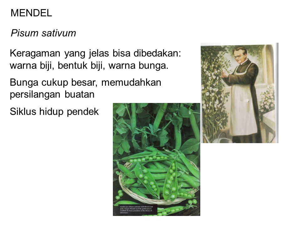 MENDEL Pisum sativum. Keragaman yang jelas bisa dibedakan: warna biji, bentuk biji, warna bunga. Bunga cukup besar, memudahkan.