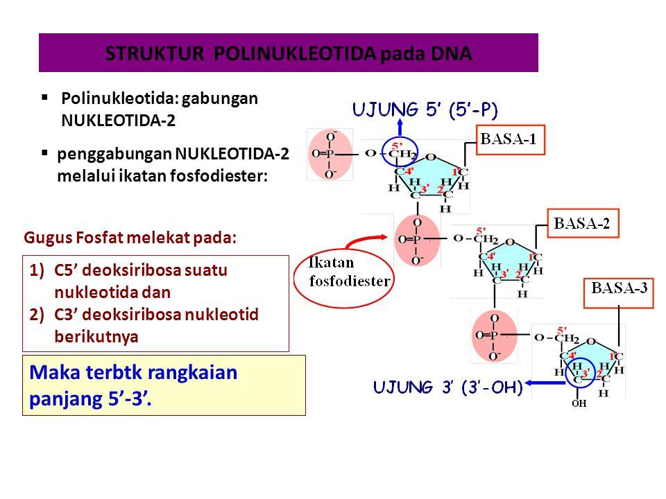 STRUKTUR POLINUKLEOTIDA pada DNA