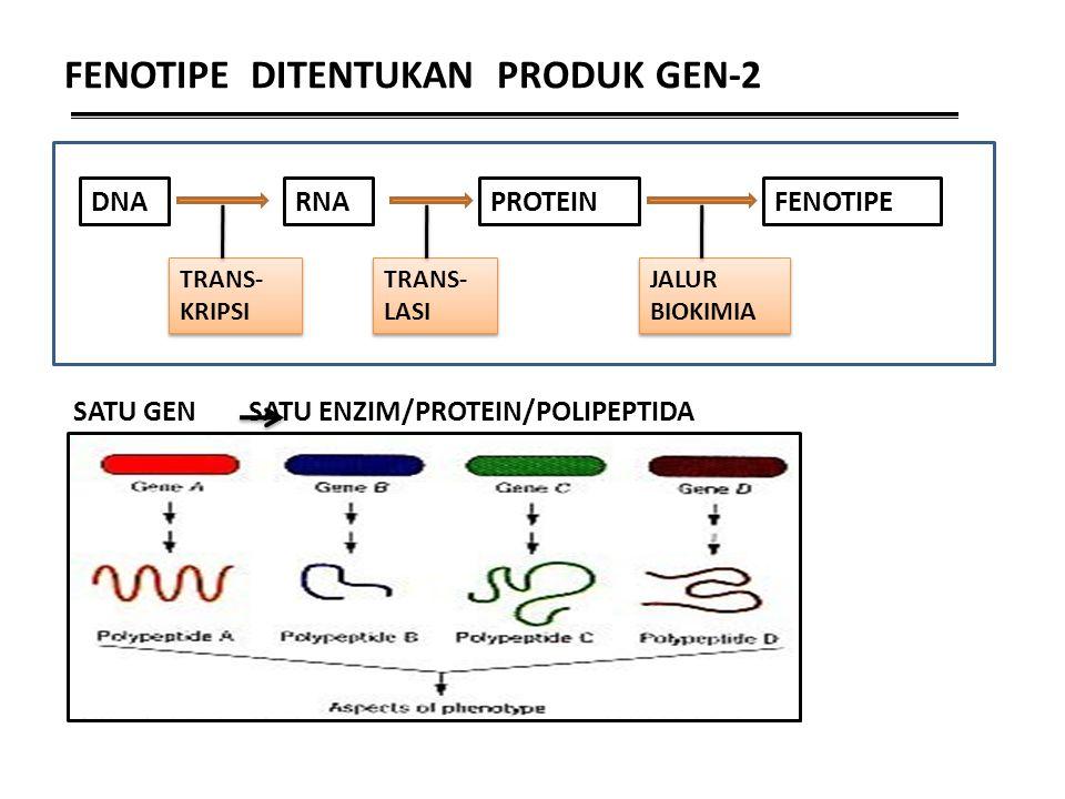 FENOTIPE DITENTUKAN PRODUK GEN-2