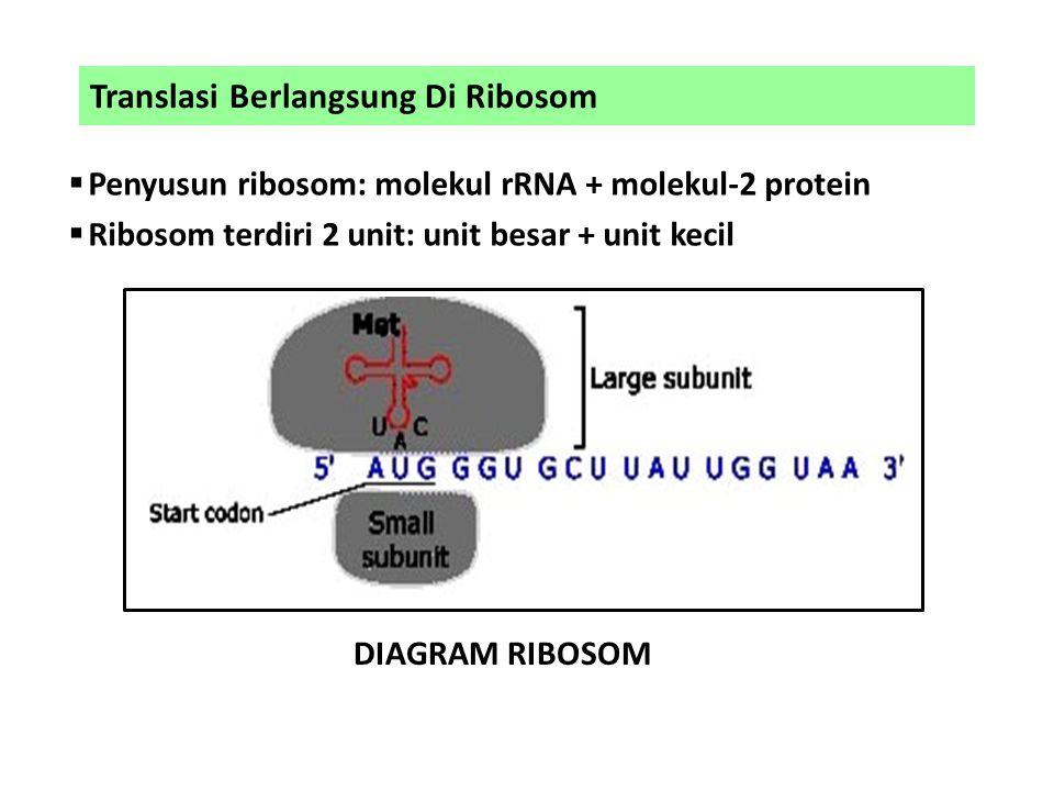 Translasi Berlangsung Di Ribosom