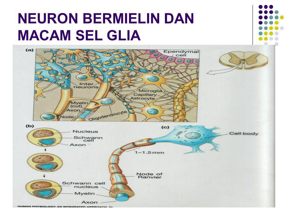 NEURON BERMIELIN DAN MACAM SEL GLIA