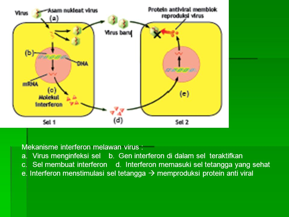 Mekanisme interferon melawan virus :