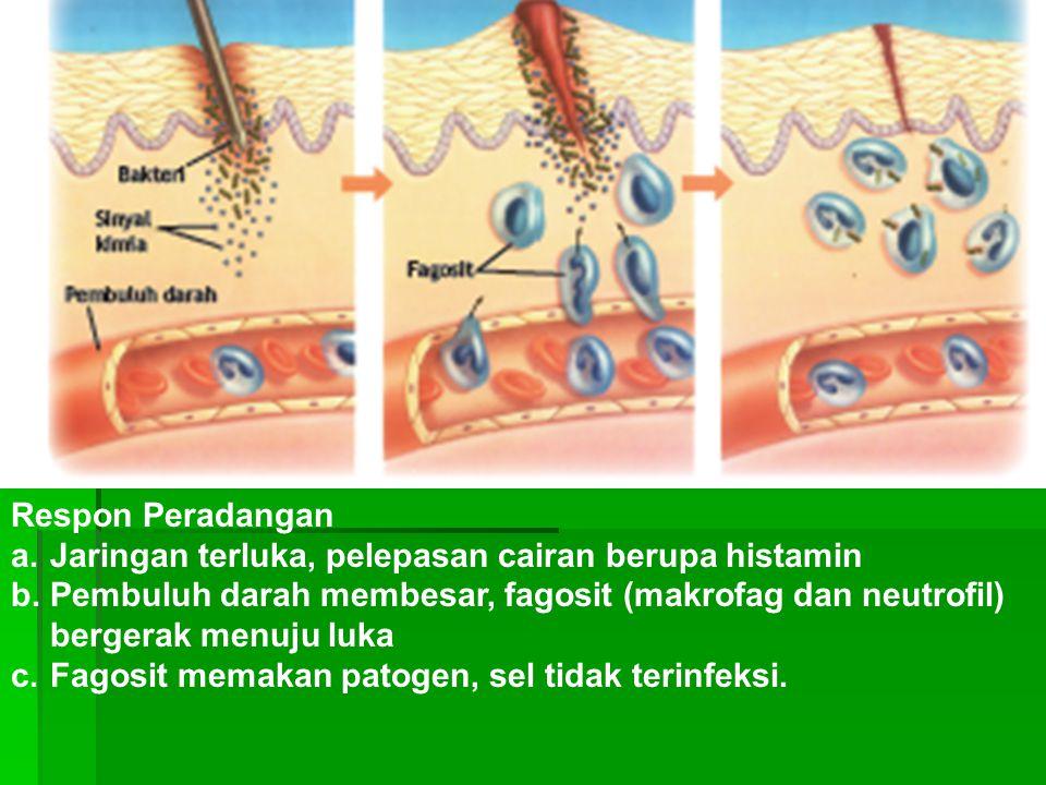Respon Peradangan Jaringan terluka, pelepasan cairan berupa histamin. Pembuluh darah membesar, fagosit (makrofag dan neutrofil) bergerak menuju luka.