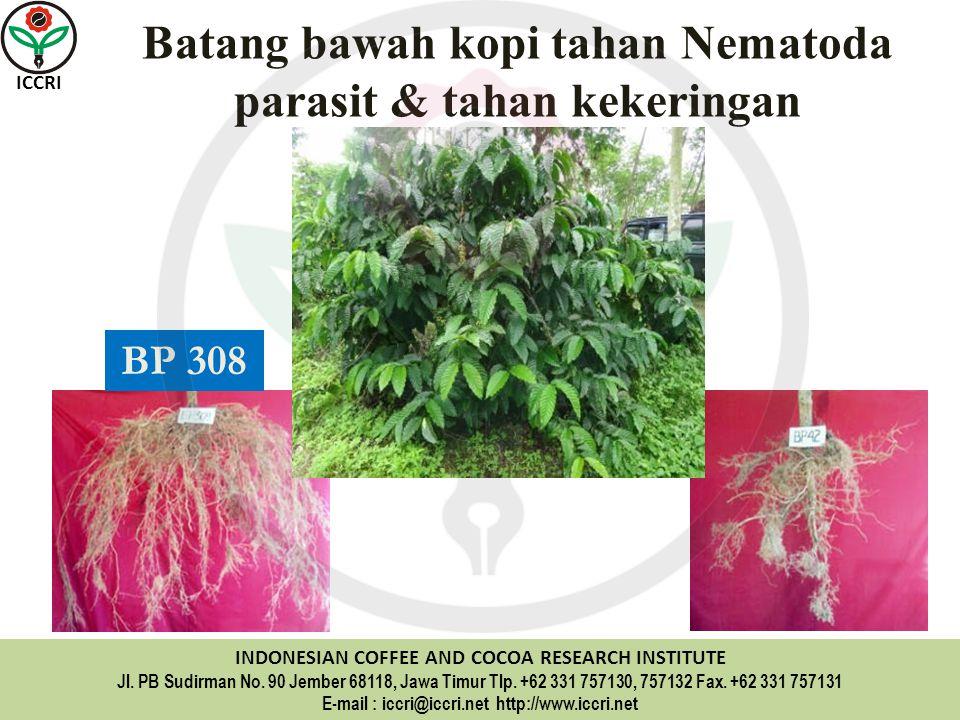 Batang bawah kopi tahan Nematoda parasit & tahan kekeringan
