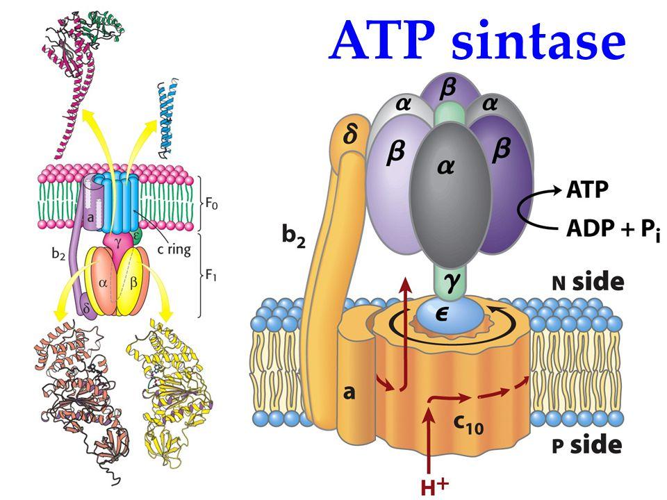ATP sintase KI3061 Zeily Nurachman