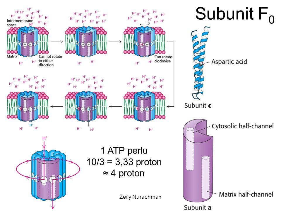 Subunit F0 1 ATP perlu 10/3 = 3,33 proton ≈ 4 proton KI3061