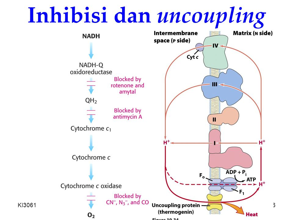Inhibisi dan uncoupling