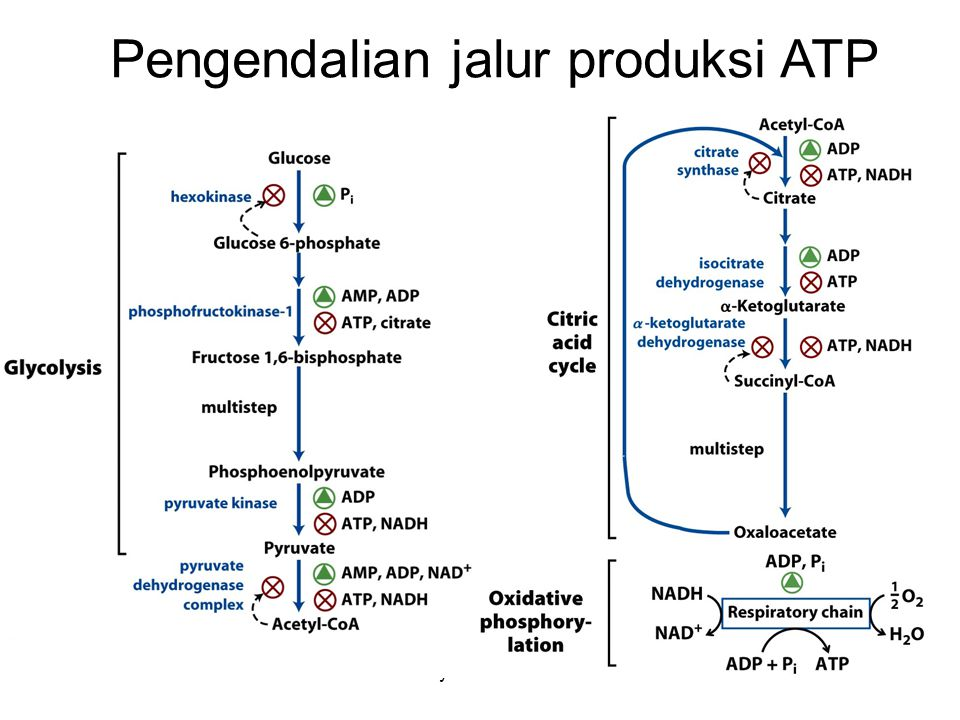 Pengendalian jalur produksi ATP