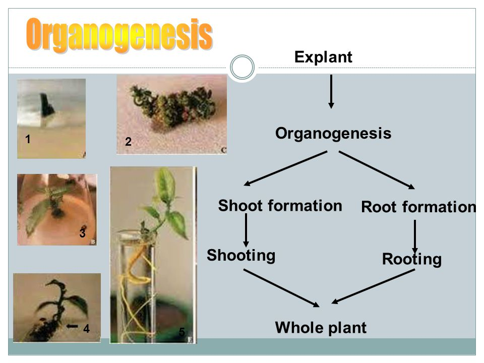 Organogenesis Explant Organogenesis Shoot formation Root formation