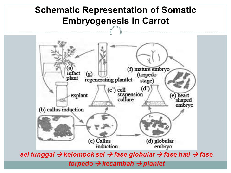 Schematic Representation of Somatic Embryogenesis in Carrot