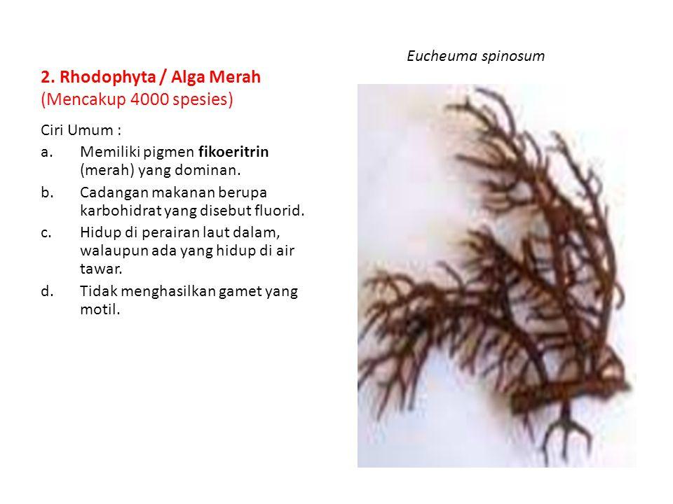 2. Rhodophyta / Alga Merah (Mencakup 4000 spesies)