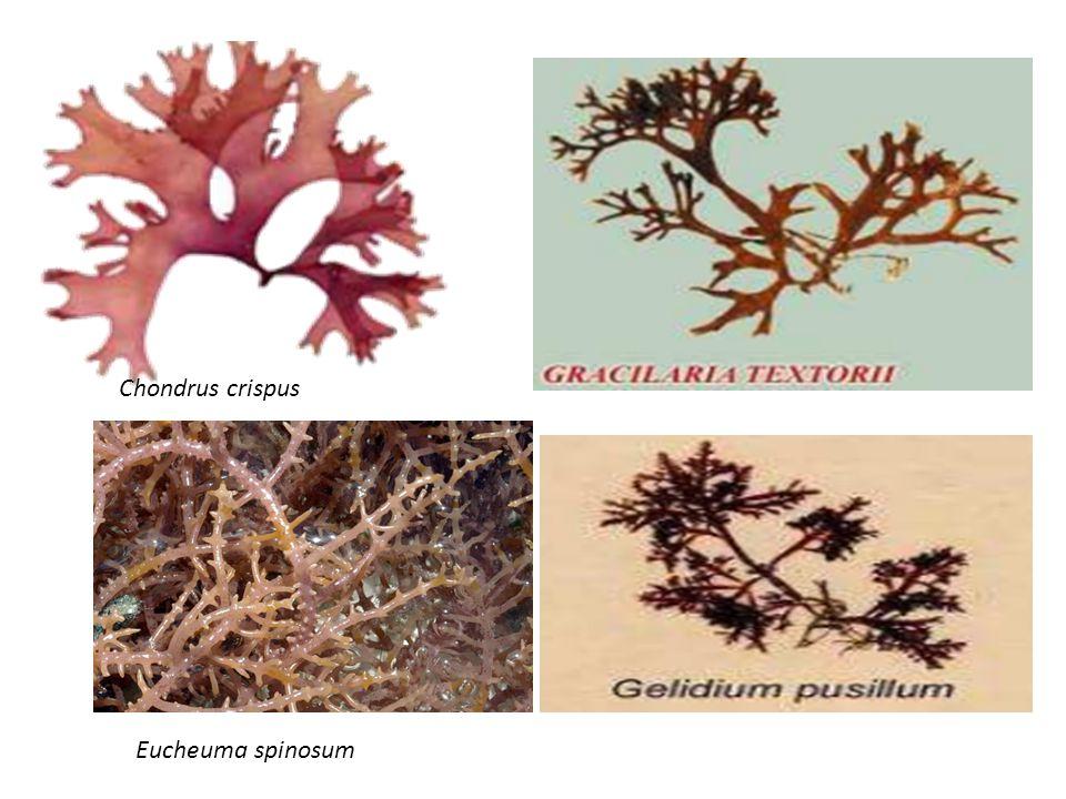 Chondrus crispus Eucheuma spinosum