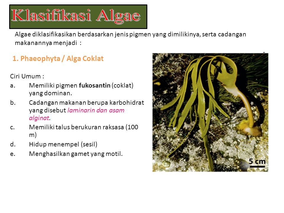 Klasifikasi Algae 1. Phaeophyta / Alga Coklat