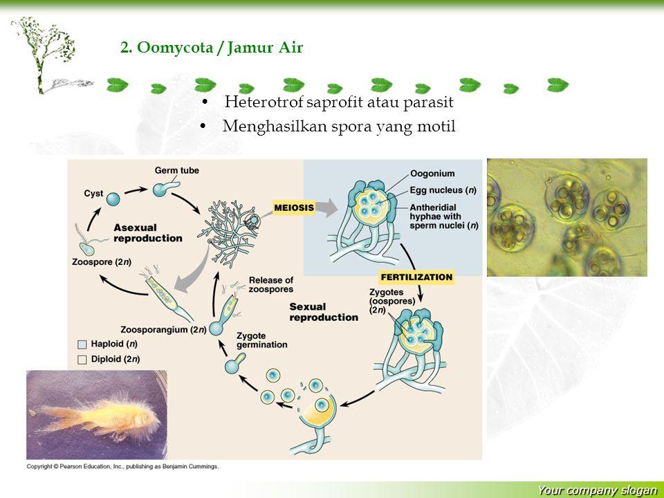 Heterotrof saprofit atau parasit Menghasilkan spora yang motil