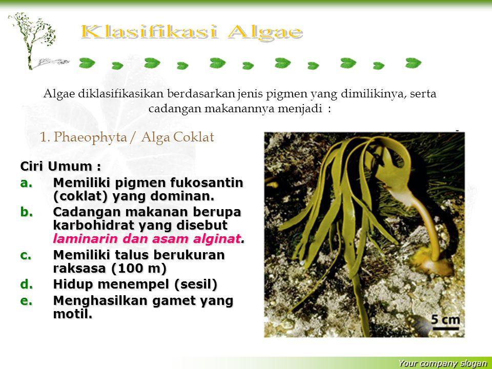 1. Phaeophyta / Alga Coklat