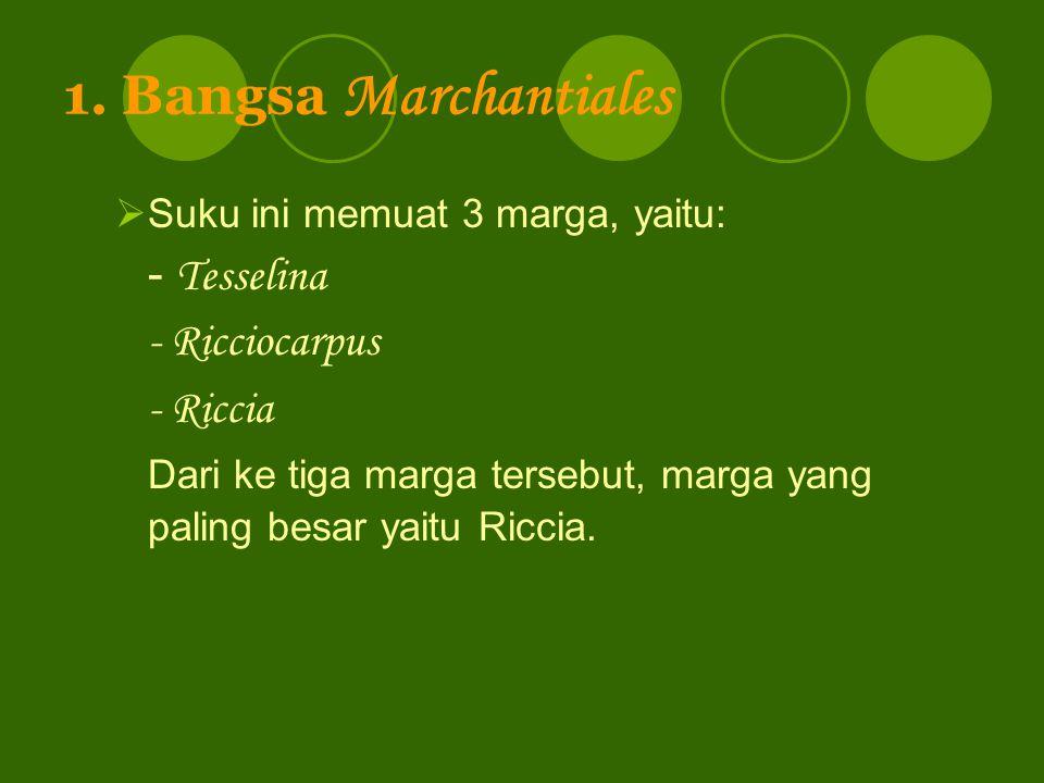 1. Bangsa Marchantiales - Ricciocarpus - Riccia