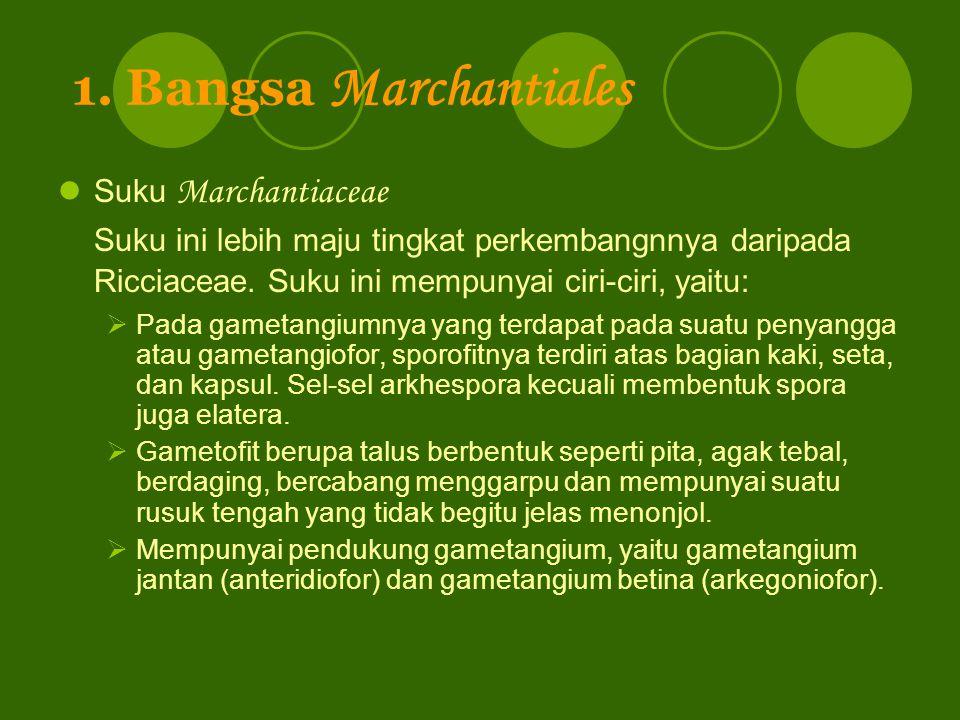 1. Bangsa Marchantiales Suku Marchantiaceae. Suku ini lebih maju tingkat perkembangnnya daripada Ricciaceae. Suku ini mempunyai ciri-ciri, yaitu: