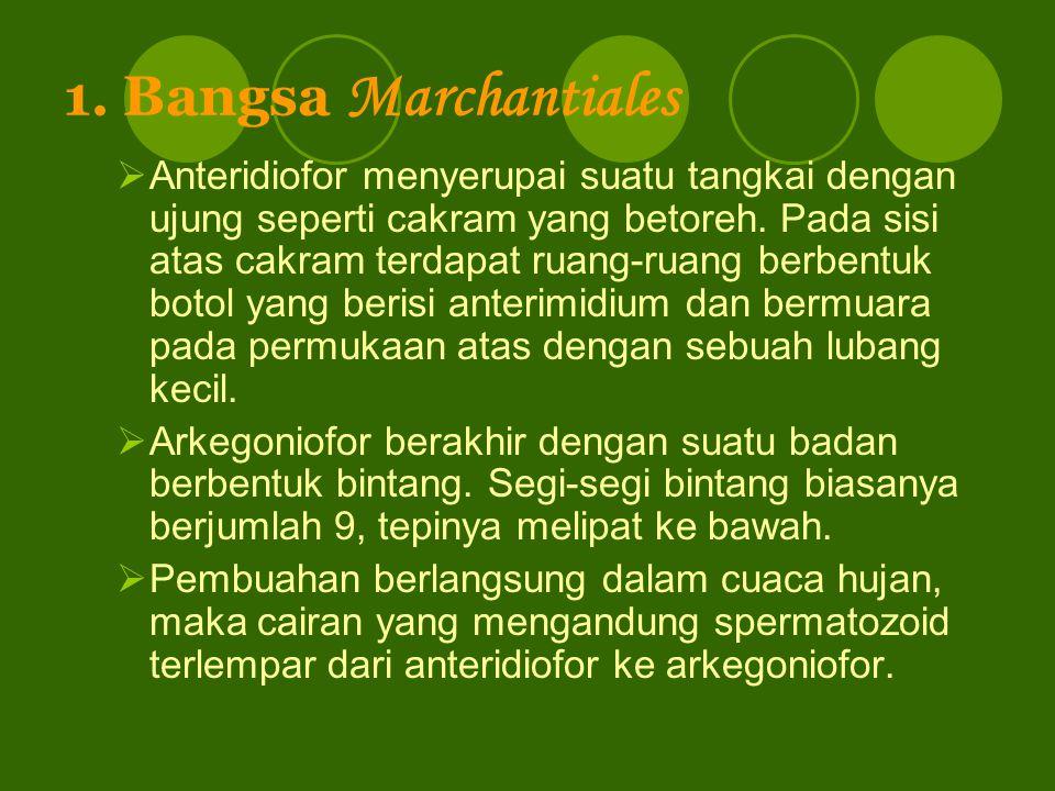 1. Bangsa Marchantiales