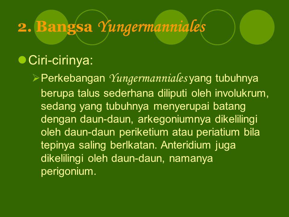 2. Bangsa Yungermanniales