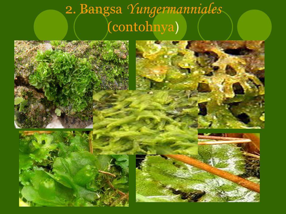 2. Bangsa Yungermanniales (contohnya)