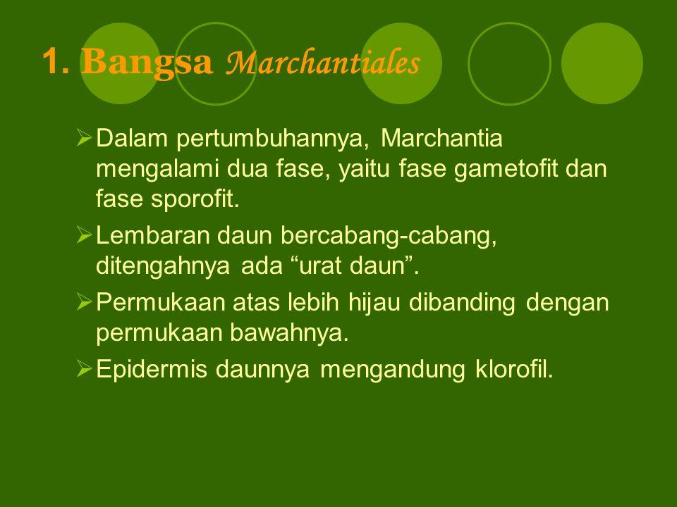 1. Bangsa Marchantiales Dalam pertumbuhannya, Marchantia mengalami dua fase, yaitu fase gametofit dan fase sporofit.