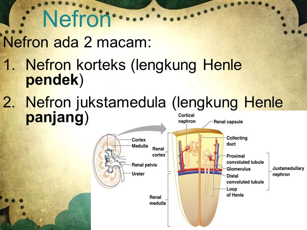 Nefron Nefron ada 2 macam: Nefron korteks (lengkung Henle pendek)