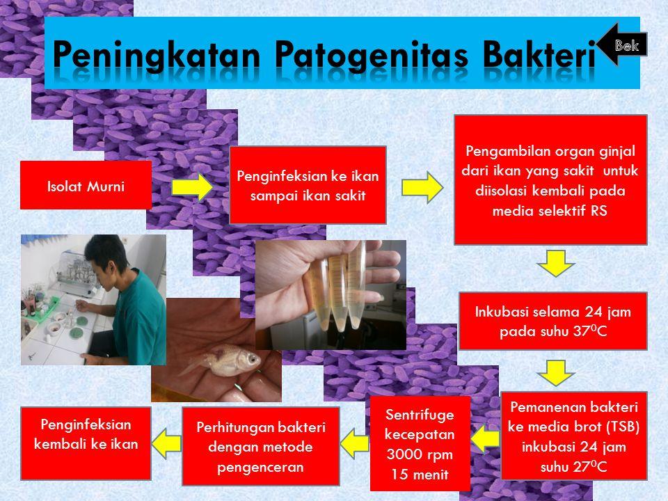 Peningkatan Patogenitas Bakteri