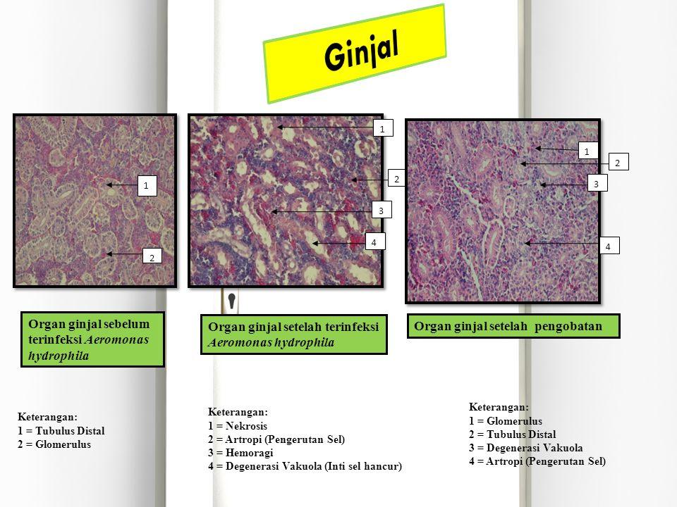 Ginjal Organ ginjal sebelum terinfeksi Aeromonas hydrophila