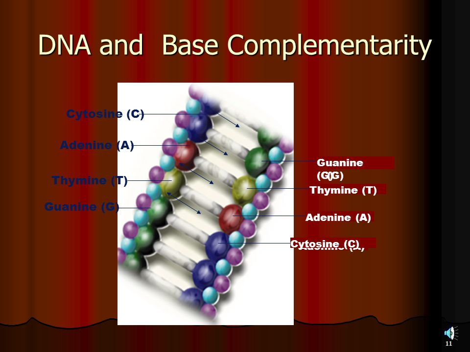 DNA and Base Complementarity