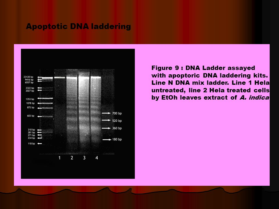 Apoptotic DNA laddering