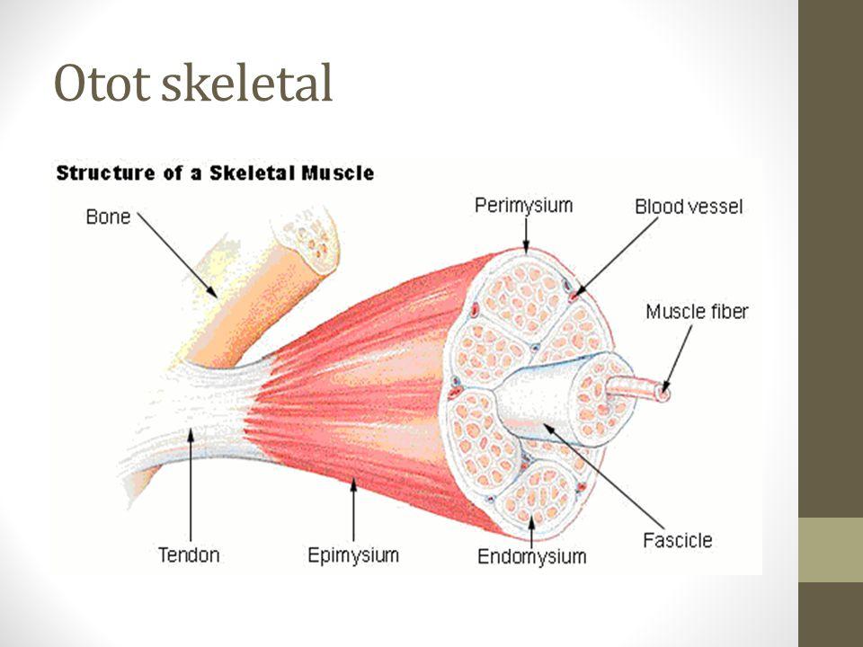 Otot skeletal