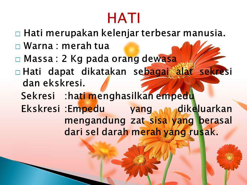 HATI Hati merupakan kelenjar terbesar manusia. Warna : merah tua