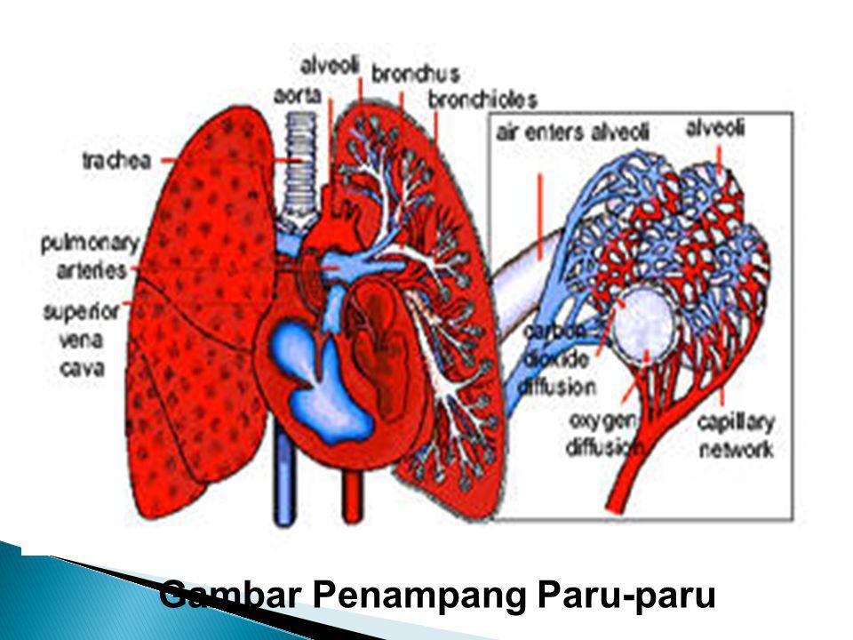 Gambar Penampang Paru-paru