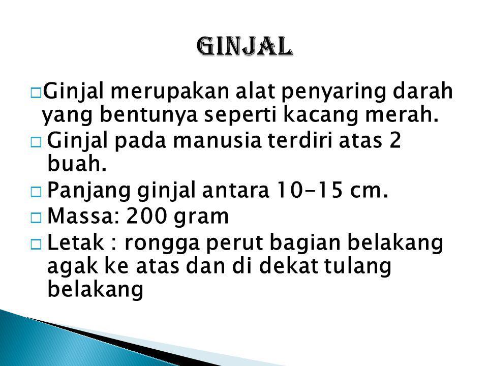 GINJAL Ginjal merupakan alat penyaring darah yang bentunya seperti kacang merah. Ginjal pada manusia terdiri atas 2 buah.
