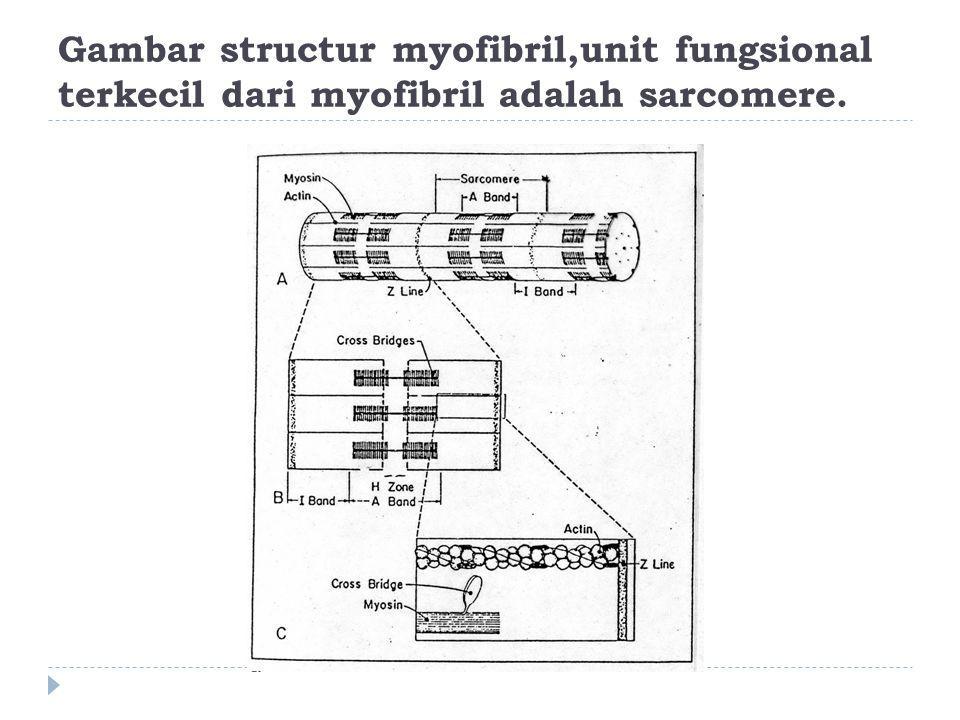 Gambar structur myofibril,unit fungsional terkecil dari myofibril adalah sarcomere.