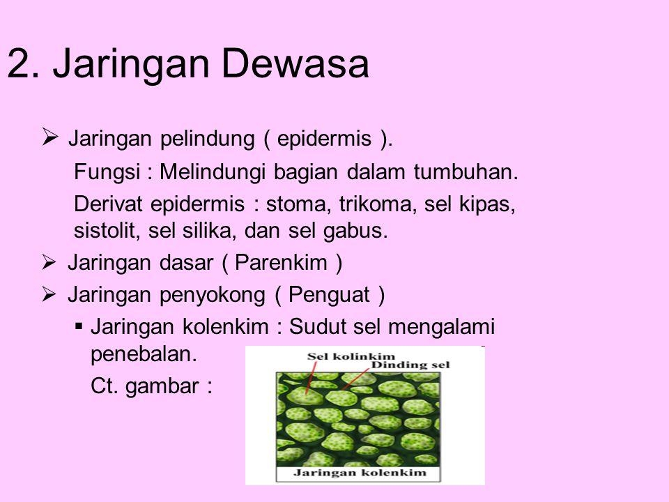 2. Jaringan Dewasa Jaringan pelindung ( epidermis ).