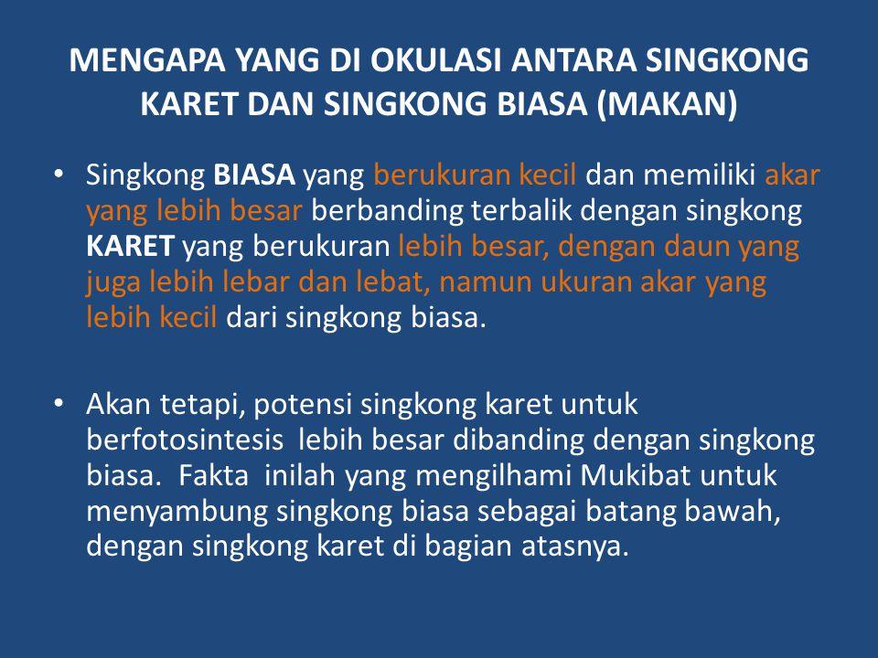 MENGAPA YANG DI OKULASI ANTARA SINGKONG KARET DAN SINGKONG BIASA (MAKAN)
