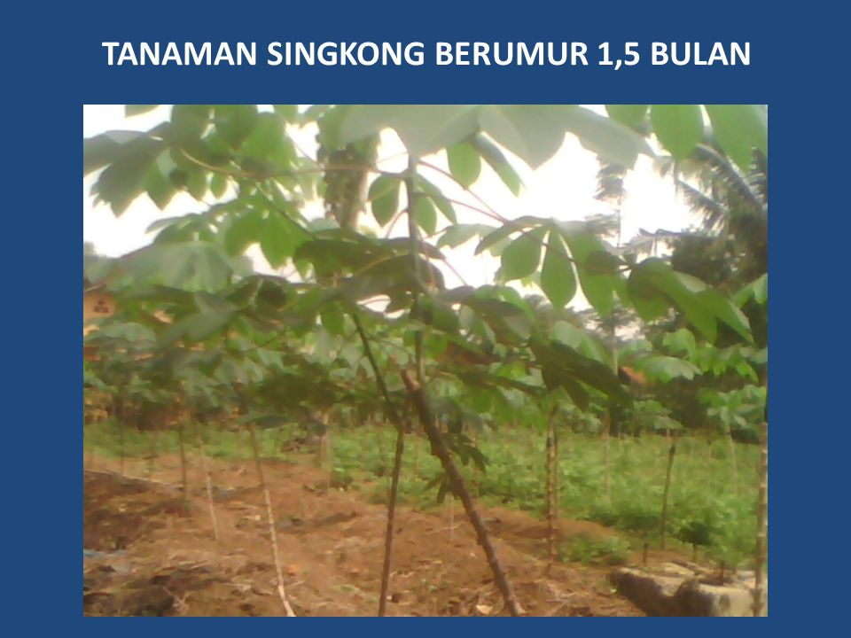 TANAMAN SINGKONG BERUMUR 1,5 BULAN