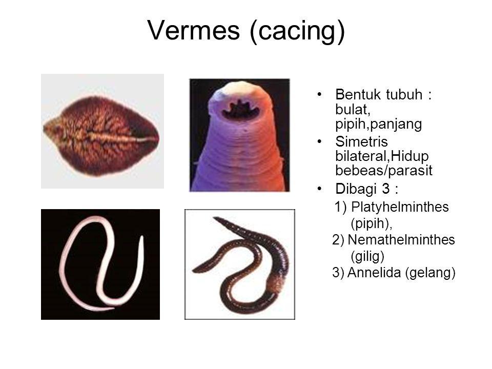 Vermes (cacing) Bentuk tubuh : bulat, pipih,panjang