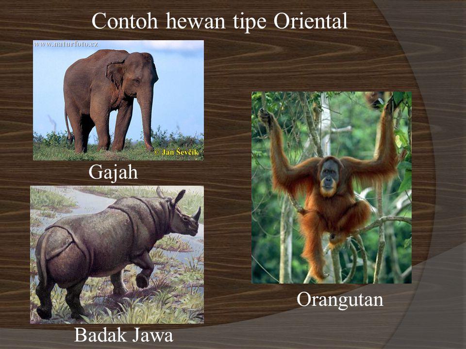 Contoh hewan tipe Oriental