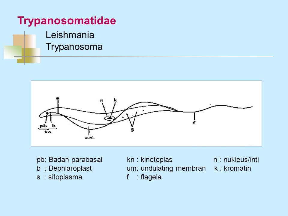 Trypanosomatidae Leishmania Trypanosoma