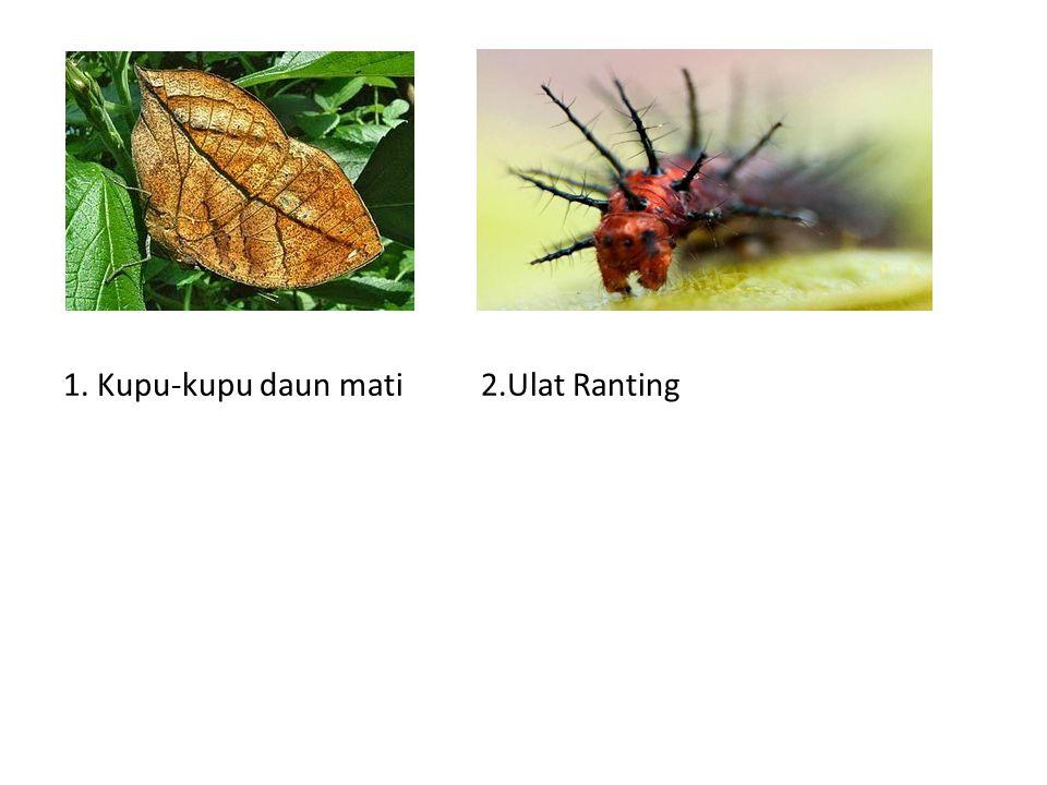 1. Kupu-kupu daun mati 2.Ulat Ranting