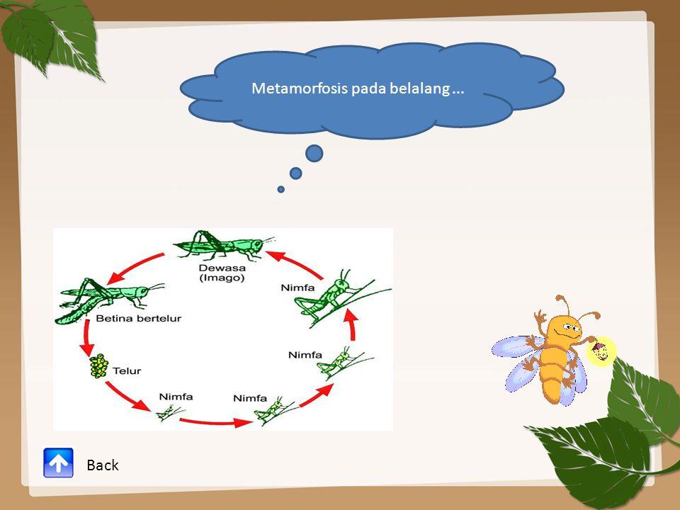 Metamorfosis pada belalang ...