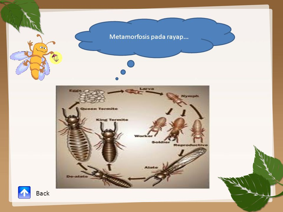 Metamorfosis pada rayap...