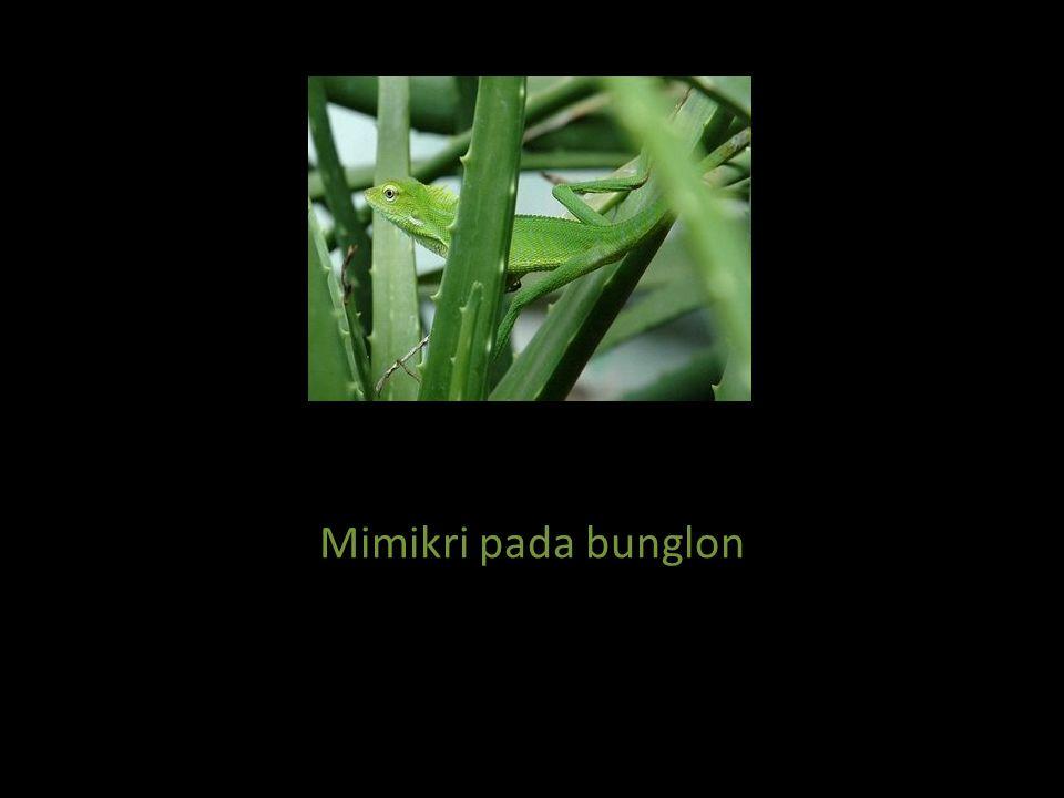 Mimikri pada bunglon