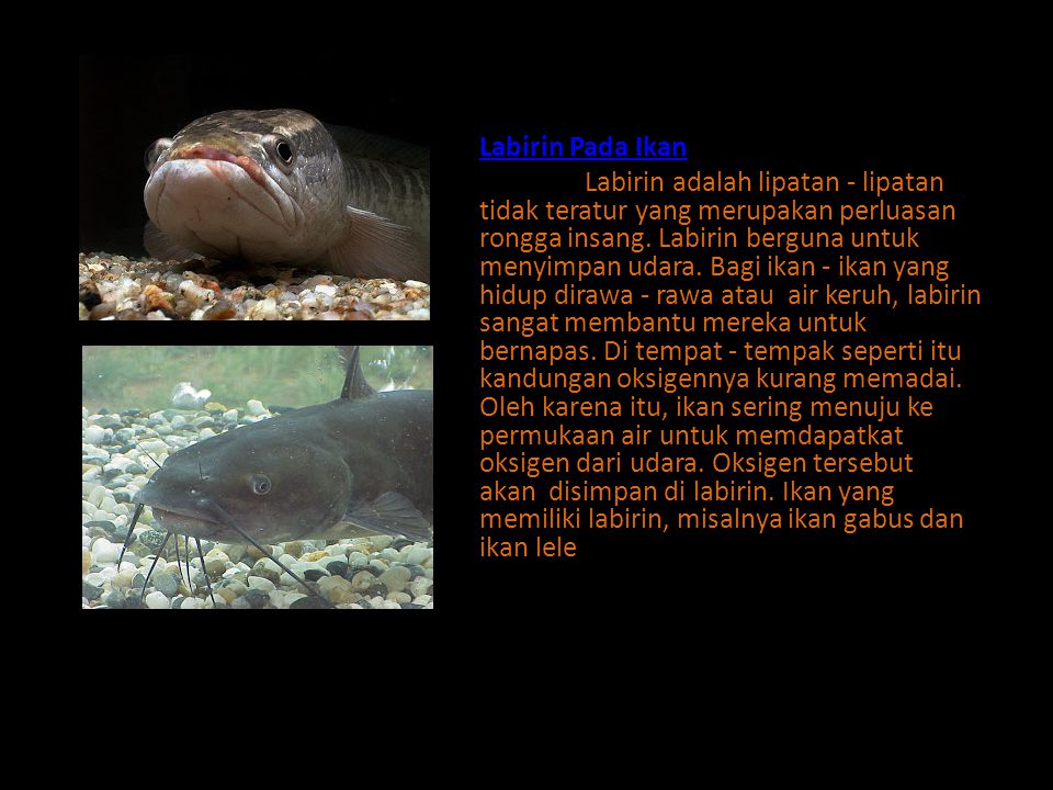 Labirin Pada Ikan