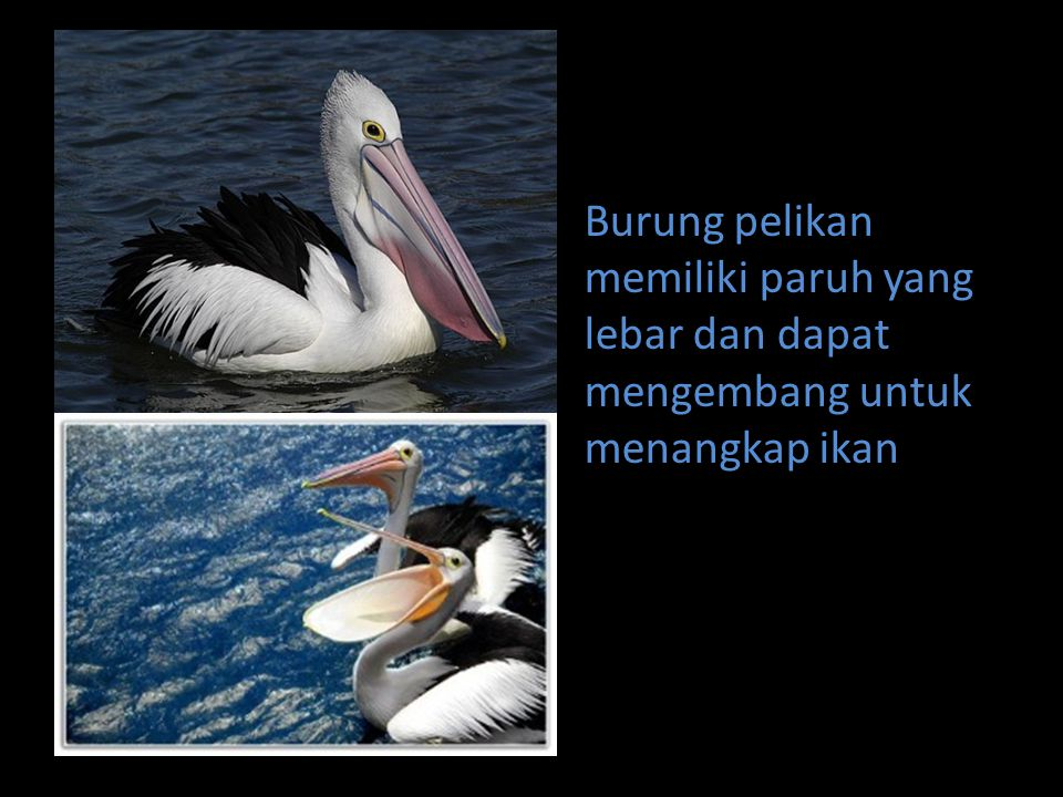 Burung pelikan memiliki paruh yang lebar dan dapat mengembang untuk menangkap ikan